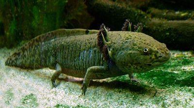 Axolotl - Ampliar imagen