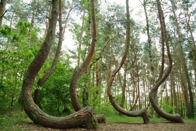El bosque encorvado de Gryfino, Polonia.